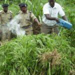 Israeli investors to grow marijuana in Uganda